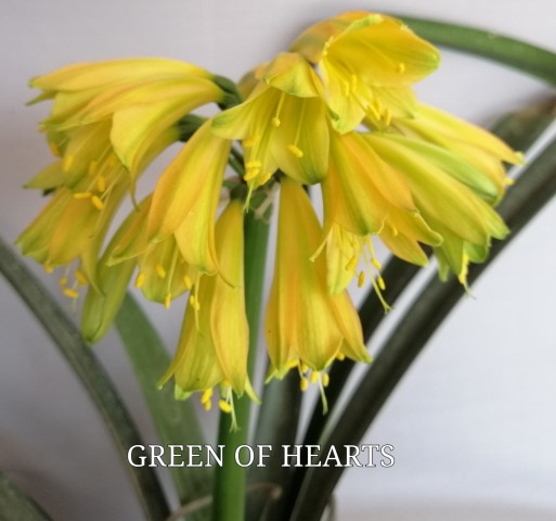 273. GREEN OF HEARTS