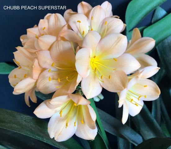 37. CHUBB PEACH SUPERSTAR